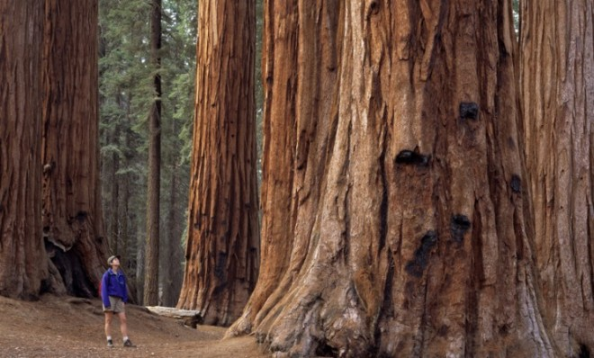 a hiker stares up at a giant california redwood in sequoia national park